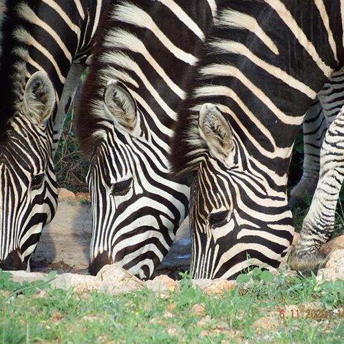 zebra-500